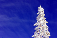 24 February 2008: Snow covered tree and blue skies after Late winter storm in Lake Tahoe, Truckee Nevada California border in the Sierra Nevada Mountains.