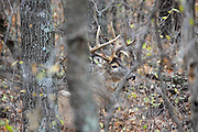 Whitetail buck in fall habitat. Whitetail buck in fall habitat