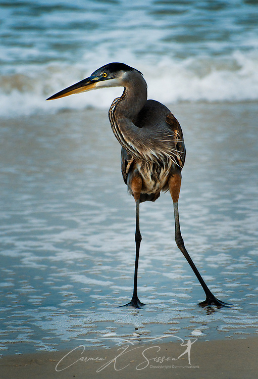 A Great Blue Heron stands in the surf on Dauphin Island, Alabama Dec. 25, 2011. (Photo by Carmen K. Sisson/Cloudybright)