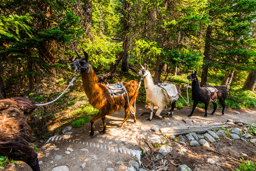 Llama pack animals on the Isabelle Glacier Trail in the Indian Peaks Wilderness Area, near Ward, Colorado USA.