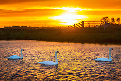 © Licensed to London News Pictures. 03/11/2018. Whittlesey UK. Three swans swim on the river Nene at sunrise this morning near the market town of Whittlesey in Cambridgeshire. Photo credit: Andrew McCaren/LNP