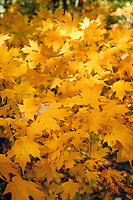 Maple leaves in fall, Monongahela National Forest in the mountain state of West Virginia,