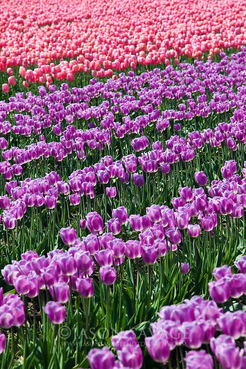 Skagit Valley Tulips,Washington.