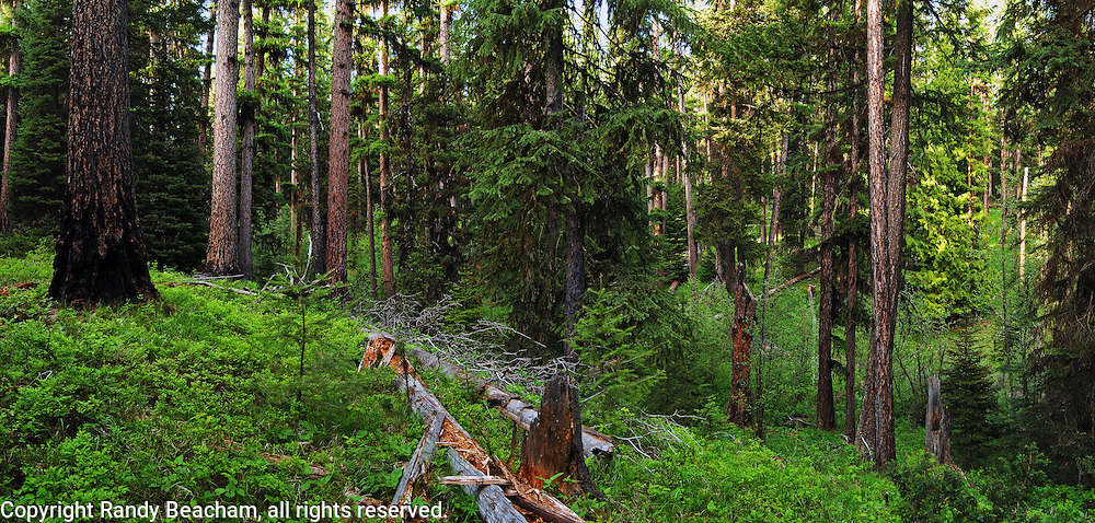 Old-growth western larch forest. Yaak Valley, Montana