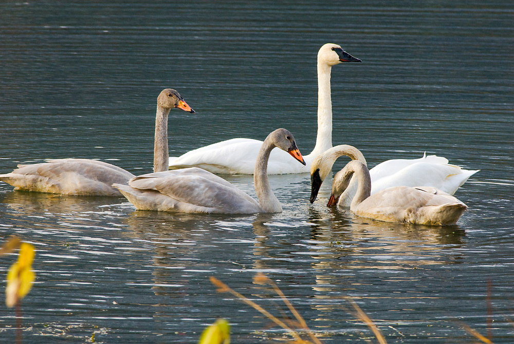 Three swan cygnets and two adult Trumpeter swans feed along family style in a pond.