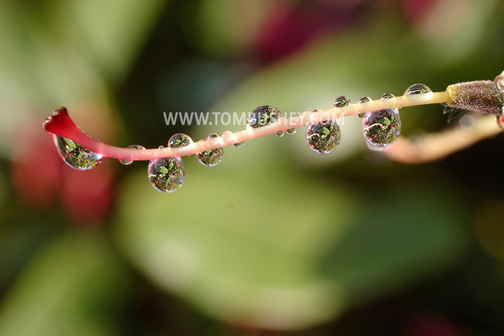 Middletown, New York - Raindrops hang from the stigma of a rhododendron after an early morning spring shower on June 5, 2006. ©Tom Bushey