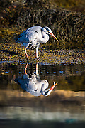 Gray Heron catching fish | Gråhegre fanger fisk