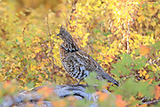A Ruffed Grouse perches on a fallen log in brilliant fall colors
