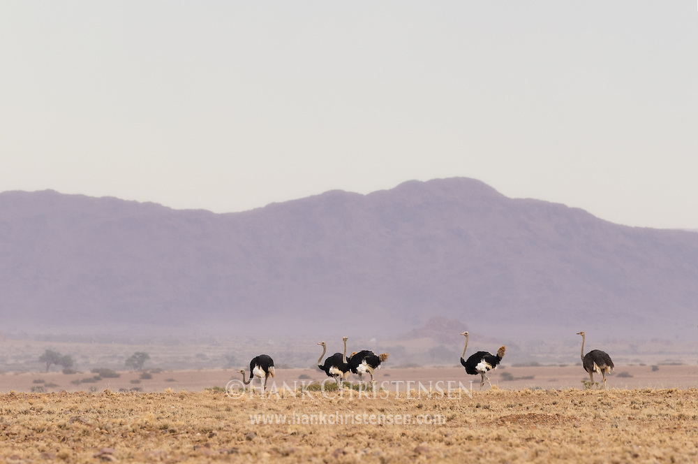 Several ostrich gather to graze the dry desert savanna of western Namibia.