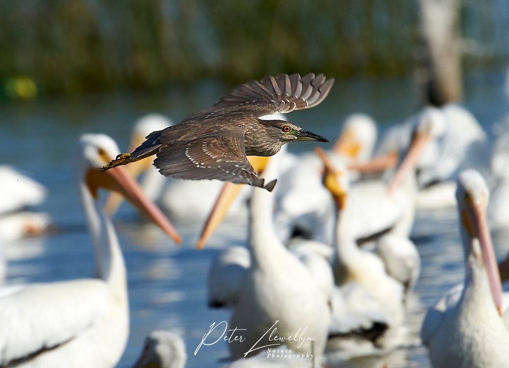 Black-crowned night heron (Nycticorax nycticorax) flying past a flock of American white pelicans on Lake Chapala, Jalisco, Mexico