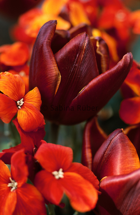Tulipa 'Abu Hassan' - triumph tulip with Erysimum cheiri 'Fire King' - wallflower
