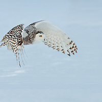 Snowy Owl in flight over a snow-covered field in Quebec, Canada.