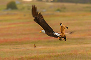 A bald eagle tried to steal a rabbit from a fox kit, but ended up flying away with both in a prairie at San Juan Island National Historical Park in Washington state. Over an 8-second midair struggle, the eagle managed to release the fox that it accidentally snagged and flew away with the rabbit. Both European rabbits (Oryctolagus cunuculus) and red foxes (Vulpes vulpes) were introduced to San Juan Island. The rabbits were introduced to the island in the 1890s by settlers; foxes were introduced occasionally in the 1900s. The European rabbits in particular are considered an invasive species, turning the prairie into an unsustainable barren landscape with their vast burrows. This displaces small native mammals, such as the Townsend's vole. While bald eagles and foxes occasionally hunt rabbits, it is a relatively rare occurrence. Up to 97 percent of an eagle's diet consists of fish and birds; red foxes more commonly eat berries, insects and small mammals, like the vole.