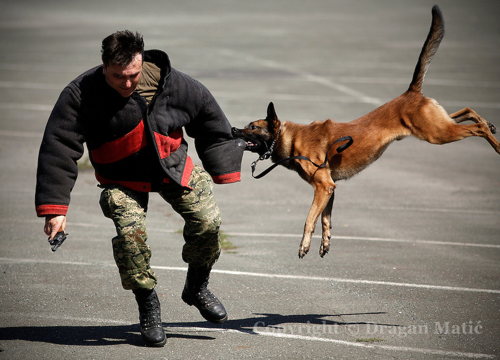 Military working dog attacks an armed suspect during Military police drill.