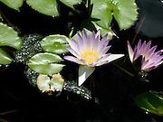 Pale Purple Water Lilies<br /> © Laurel Smith