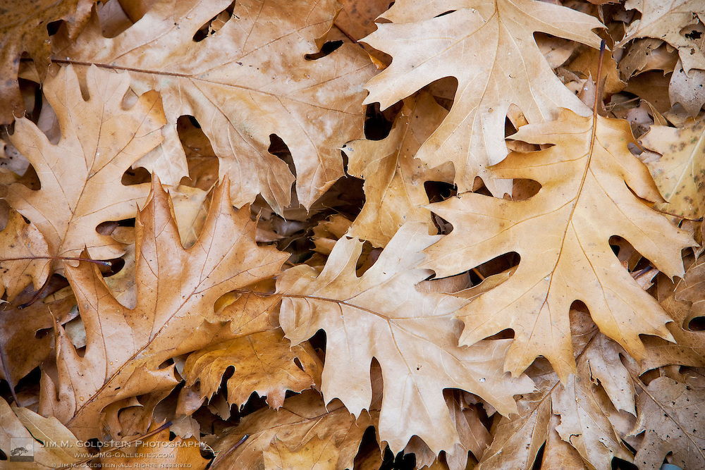 An intimate nature portrait of Oak leafs in Yosemite valley - Yosemite National Park, California