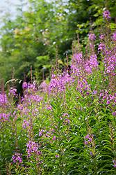 Rosebay Willowherb, Fireweed growing by a lane. Epilobium angustifolium