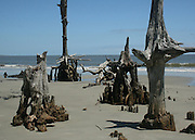 petrified tree stumps on Driftwood Beach Jekyll Island