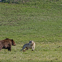 Gray wolf interacting with a Bison and Grizzly Bear in Yellowstone National Park