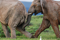 African Elephant bulls displaying displacement behaviour during fighting to determine dominance, Addo Elephant National Park, Eastern Cape, South Africa