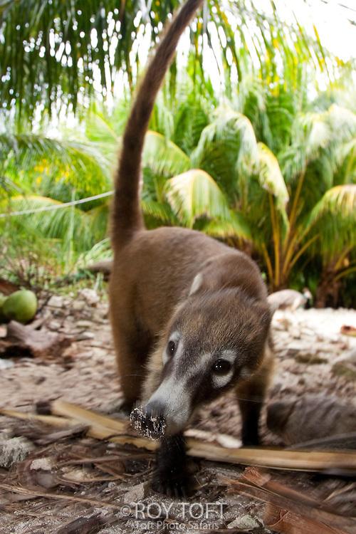 Endemic to Cozumel Island, Mexico, a Cozumel Coati (Nasua nelsoni) forages for food