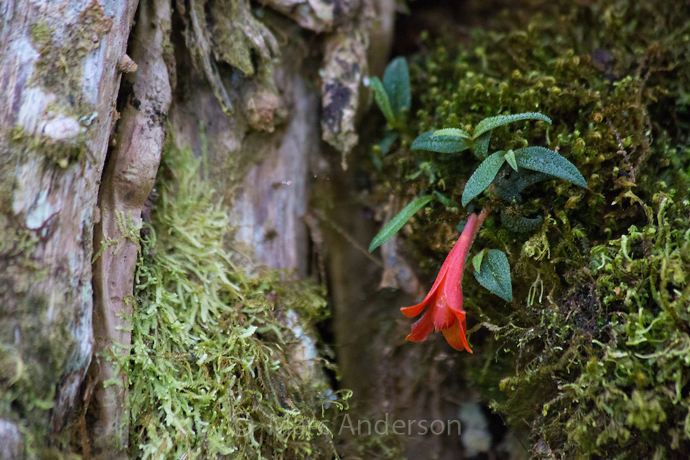 Wild Dendrobium cuthbertsonii orchid growing on a rainforest tree in Enga Province, Papua New Guinea.