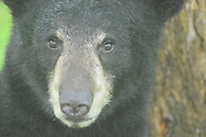 Black bear in front of tree in upstate NY. Close up portrait of bears face.