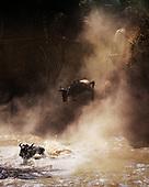 Wildebeest and Migration