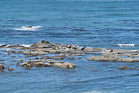 Sea Lions and Seals on Shell Island, Cape Arago State Park Oregon
