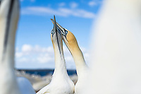 Cape Gannet pair sky-pointing , Malgas Island, Western Cape, South Africa