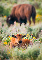 a new born bison calf sits nestled amongst wildflowers as mom grazes in the background