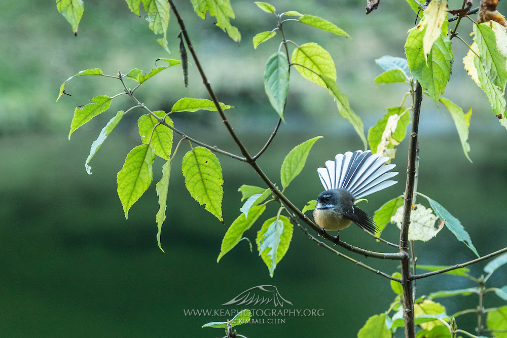 An inquisitive fantail perches for a closer look, along the Milford Track in Fiordland National Park.