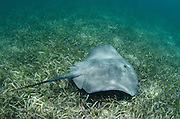 Caribbean Whiptail Ray (Himantura schmardae) (Rhizophora mangle)<br /> Lighthouse Reef Atoll<br /> BELIZE, Central America