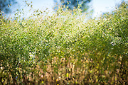 Detail shot of cilantro and coriander.