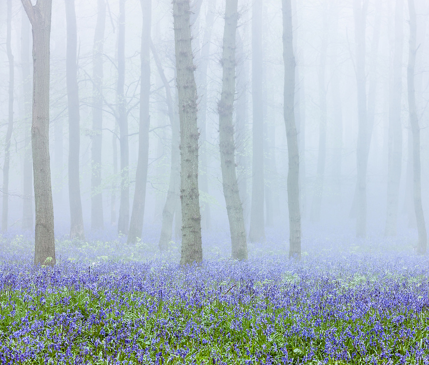 Each Spring, Dockey Wood reveals a dense carpet of bluebell flowers. This photograph was taken on a misty April morning when the bluebells had just started to emerge and the trees were coming into leaf.