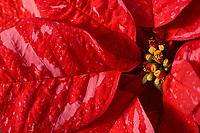Poinsettia: Premier Jingle Bells