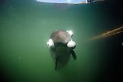 Harbour porpoise Phocoena Phocoena Fjord & Baelt