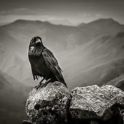 Raven on the Summit of Stob Dearg, Buachaille Etive Mor
