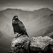 Raven on the Summit of Stob Dearg, Buachaille Etive Mor