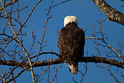 The Bald Eagle (Haliaeetus leucocephalus) is a North American bird of prey and the national symbol of the United States. Due to the use of DDT the Bald Eagle was nearly wiped out from the continental United States. With the banning of DDT and various protection efforts the Bald Eagle made a strong recovery and has now been removed from threatened and endangered lists...This adult Bald Eagle, identifiable via the distinctive brown body with white head and tail and yellow beak and feet, has taken refuge from the winter in Squamish in British Columbia, Canada. Squamish is one of the best place in the world to view Bald Eagles as they congregate to feed on spawning salmon in the Winter months of December and January.