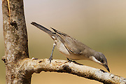 Orphean Warbler (Sylvia hortensis) on a branch, negev desert, israel