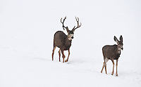 Winter early in 2017 by the looks of this Mule Deer buck he had an injury just as he started growing this season's antlers he could of been hit by a car or got hungup on a fence he looks a little thin and winter is just beginning you can see his injury on his right knee and the change in it's right side antler growth.