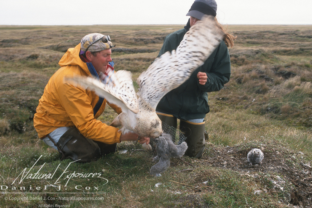 Denver Holt and Laura Phillips with a captured female snowy owl (Bubo scandiacus). Barrow, Alaska