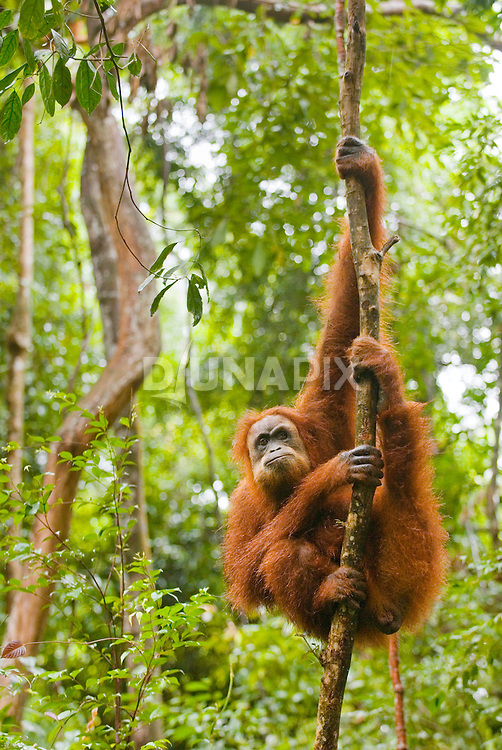 A Sumatran orangutan makes a stern, disgruntled expression while hanging out near Bukit Lawang, North Sumatra.