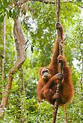 A Sumatran orangutan makes a stern, disgruntled expression while hanging out near Bukit Lawang, North Sumatra.