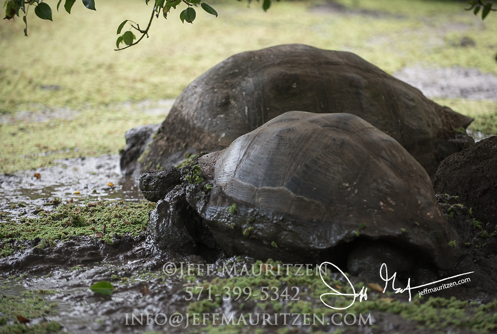 2 Galapagos Giant tortoises rests in a small lagoon in the Santa Cruz highlands.