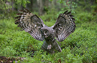 Great grey owl (strix nebulosa) in boreal forest, Oulu, Finland.