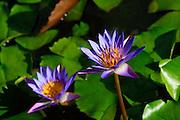 Water Lily, Hilo, Island of Hawaii