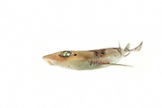 [captive] Narrowmouthed catshark (Schroederichthys bivius) (length = 70 centimetres) Comau Fjord, Patagonia, Chile |