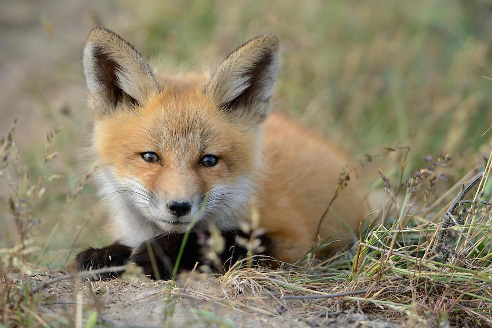 Red Fox Kit (Vulpes vulpes) at rest, Missoula, Montana